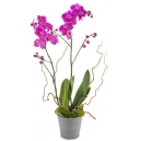 orchid plant online philippines