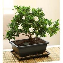Gardenia Bonsai Send To Philippines