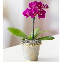 Mini Purple Phalaenopsis Orchid Send To Philippines