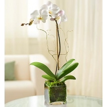 White Phalaenopsis Orchid Send To Philippines