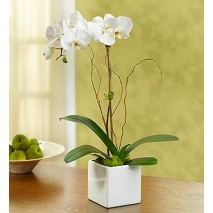 Majestic Orchid Send To Philippines