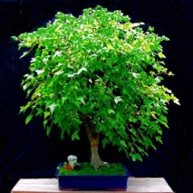 Chinese Holly Send To Philippines