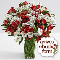 150 Blooms of Candy Cane Peruvian Lilies