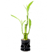 Send Lucky Bamboo Plants to Philippines