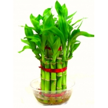 Send Lucky Bambo Plants to Philippines