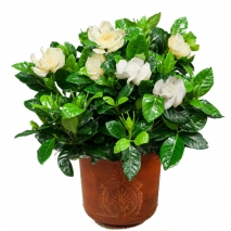 Fragrant scent of gardenias Send To Philippines