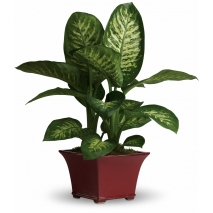 send dieffenbachia plant philippines