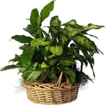 send mix plant basket to philippines