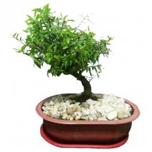 send nana specie bonsai to philippines