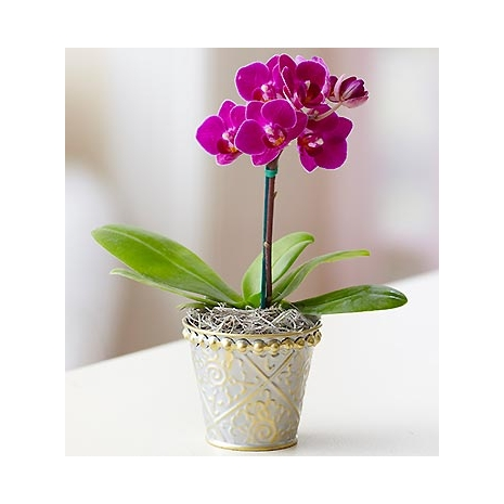 Mini Purple Phalaenopsis Orchid Send To Philippines